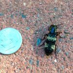 Photo of a Hairy Rove beetle beside a U.S. dime for scale purposes