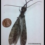 photo of a male dobsonfly beside a U.S. penny for scale purposes