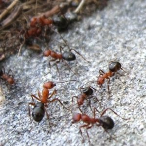 "A group of Allegheny Mound ants, for marking the ""Ants"" category of our Insect Fact Sheets page."