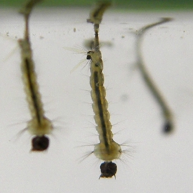 Three mosquito larvae underwater but positioned with their breathing tube--called a siphon--at the surface for air exchange/breathing.
