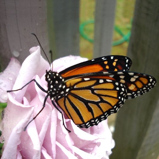 "A monarch butterfly resting on a rose, to mark our ""Beneficial Critters"" category."