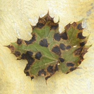"A maple leaf infected by Tar Spot and Anthracnose, for marking the ""Plant Diseases"" category of our Fact Sheets"