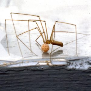 "Photo of a cellar spider to mark our ""Spiders"" category of critters."