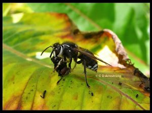 A bald-faced hornet holding the remnants of an insect which was probably preyed upon by the hornet