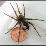 Photo of a Fishing Spider; Maine's largest spider