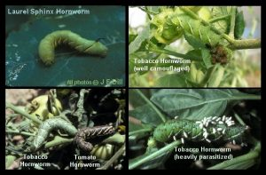 A collage of four Hornworm photos showing a Laurel Sphynx hornworm, three tobacco hornworms, and one tomato hornworm.