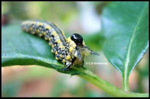 Photo of an Introduced Pine Sawfly (July, 2015)
