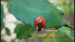 Photo of a Multicolored Asian Lady Beetle on a rose leaf