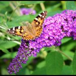 Photo of a Painted Lady butterfly in Camden, Maine (August 14, 2017)