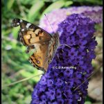 Photo of a Painted Lady butterfly in Boothbay, Maine (9/1/2008)