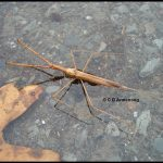 Photo of a Water Scorpion