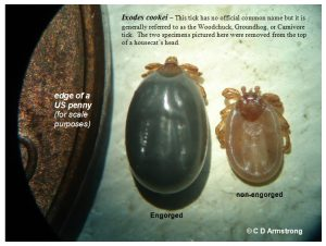 Picture showing a pair of Woodchuck Ticks, side-by-side (one is engorged and one is not)