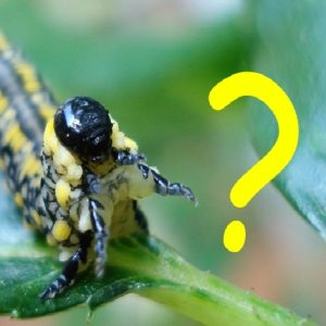 "Photo of an Introduced Pine Sawfly with a yellow question mark on it, for marking the ""Critter ID"" section of our web site"