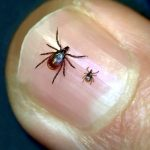 Deer Ticks (adult on the left and a nymph on the right)