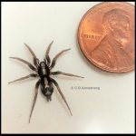 Photo of an Eastern Parson Spider beside a U.S. penny for scale purposes.