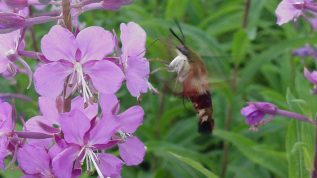 "Photo of a hummingbird moth, for marking our ""Just Flying Around"" category of our Insect ID section"