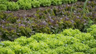 "Photo of various lettuces and greens, for marking the ""Vegetable Garden"" section of our critter habitat page."