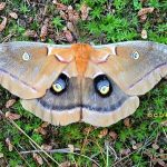 a Polyphemus Moth in Etna, Maine on 6/30/2012