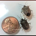 A pair of Brown Marmorated Stink Bugs captured in Churchville, NY - April 2019