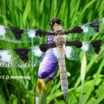 Photo of a dragonfly taken July 3rd, 2012 in Boothbay, Maine