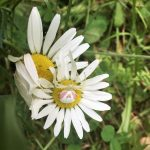 a Crab Spider (Misumena vatia) perched on a daisy flower head; photo courtesy of M. Pelletier