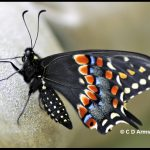 Eastern Black Swallowtail butterfly -- Papilio polyxenes asterius (Stoll)