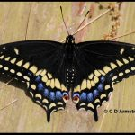 Eastern Black Swallowtail butterfly with its wings spread open