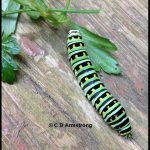 A Full-grown caterpillar of the Black Swallowtail (other names: Eastern Black Swallowtail, American Swallowtail, Parsnip Swallowtail, Celeryworm, and Caraway worm)
