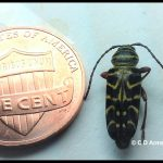 a Locust Borer adult beside a US penny
