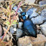 Oil Beetle (female) (central Maine; late September 2019) (Photo courtesy of M. Pelletier)