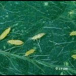 Photo of thrips on a leaf