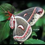 Side view of a Cecropia Moth