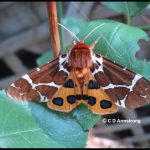 Photo of a Garden Tiger Moth (also called a Great Tiger Moth)