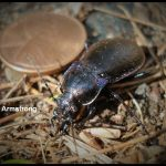"A type of Ground Beetle called a ""Snail Eater"" (possibly Scaphinotus marginatus)"