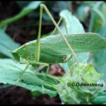 Photo of a katydid in Maine (also sometimes called a long-horned meadow grasshopper) - August 6th 2010