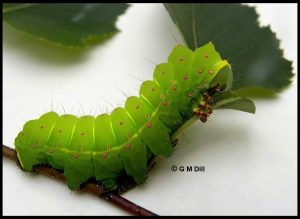 The caterpillar of the Luna Moth