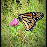 A monarch butterfly resting and feeding on a clover flower in Turner, Maine, August 20th 2018