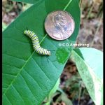 a Monarch Caterpillar - 4th instar or early 5th instar stage.