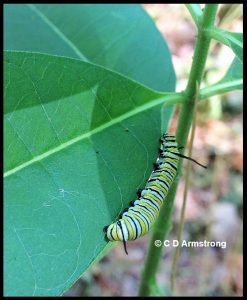 A mature Monarch Caterpillar - Turner, ME (8/9/2019)
