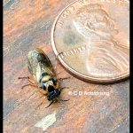 Introduced Pine Sawfly adult - Diprion similis - beside a US penny (April 15th, 2020)