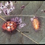 And adult and larva of the Mexican Bean Beetle on a bean leaf with some larval feeding damage as well