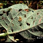 Mexican Bean Beetle egg mass on the underside of a bean leaf which also has feeding injury holes from adult beetles