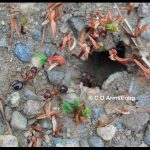 Pair of Allegheny Mound ants outside one of their tunnels on a farm road.