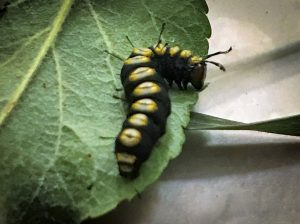 A rare caterpillar called a Paddle Caterpillar or Funerary Dagger Moth caterpillar; found in Hartland, ME; late July, 2020