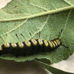 A rare caterpillar called a Paddle Caterpillar or Funerary Dagger Moth caterpillar; found in Hartland, ME; late July, 2020
