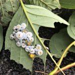 Dogwood Sawfly Larvae (7/17/2020; Monroe, Maine)