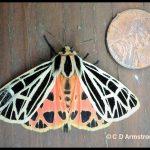 a Virgin Tiger Moth beside a U.S. penny (Etna, ME; 7/24/2020)