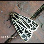 a Virgin Tiger Moth (Etna, ME; 7/24/2020)