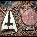 A Clymene moth beside a U.S. penny for scale.