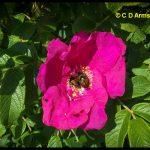 Three Japanese Beetles feeding on a wild rose blossom; Seal Harbor, Maine - August 7, 2020